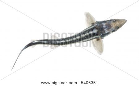 Diamond Sturgeon - Acipenser Gueldenstaedtii