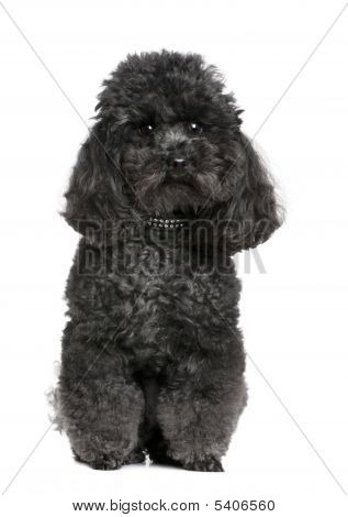 Toy Poodle (4 Years Old)