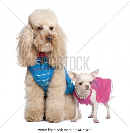 Poodle And Chihuahua