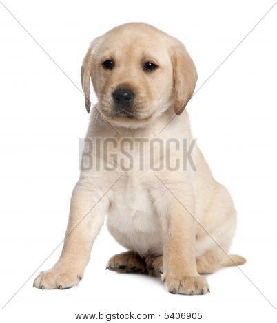 Labrador Puppy (6 Weeks Old)