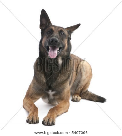 Belgian Shepherd Dog (malinois) (2 Years Old)
