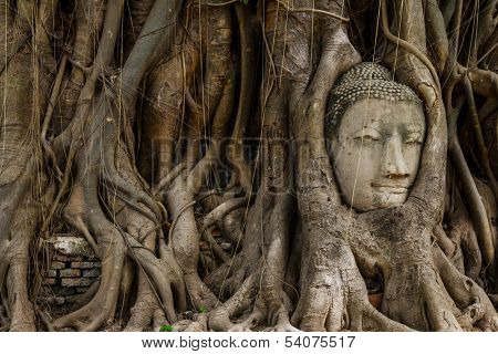 Buddha head statue and the banyan tree