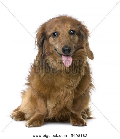 Old Sightless Dog : Dachshund (15 Years Old)