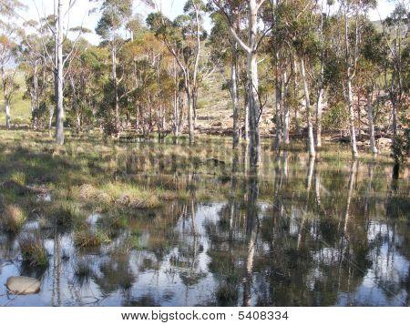 Bluegum Trees And Rain Water