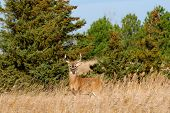 foto of deer rack  - Whitetail Deer Buck standing in a field - JPG