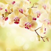 picture of yellow orchid  - Yellow orchid on a light background - JPG
