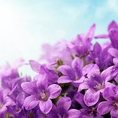 pic of blue-bell  - Campanula flowers and blue sky - JPG