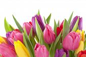 pic of yellow buds  - Tulip flowers on white background - JPG