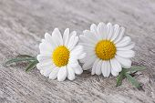 stock photo of yellow buds  - Chamomile flower on wooden background - JPG
