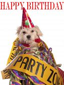 image of hairy tongue  - maltese dog with party hat with birthday congratulations - JPG