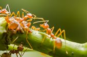 pic of aphid  - Red ant and aphid on the leaf in the nature