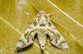foto of hawk moth  - Moth in the nature on the environment concept