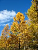 Autumn. Yellow larch tops against blue sky background