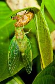 foto of locust  - Locust coming out of shell in Costa Rica