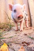picture of piglet  - Close - JPG