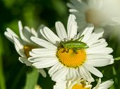 Green grasshopper on chamomile flower