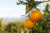 stock photo of valencia-orange  - Trees with orange typical in the province of Valencia Spain - JPG