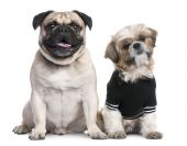 stock photo of dog breed shih-tzu  - Couple of dogs  - JPG