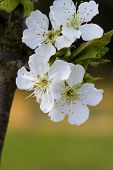 picture of bing  - These are the lovely white flowers of a Bing cherry tree in full bloom for spring - JPG