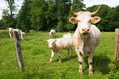 picture of charolais  - French white Charolais cows - JPG
