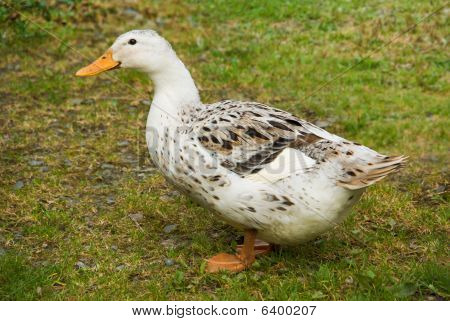 Free Range Farmyard Duck