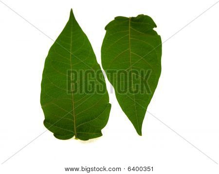 Two green leaves from a tree