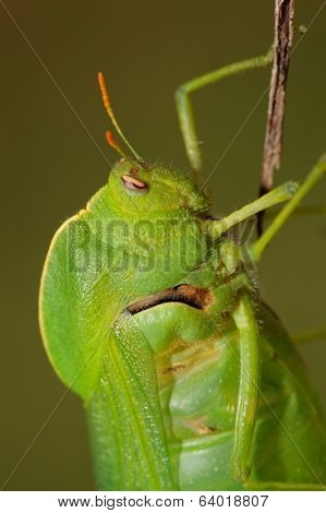 Portrait of a green bladder grasshopper (Bullacris intermedia), South Africa