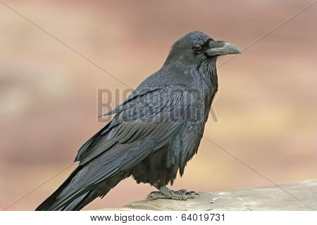 Common Raven On A Rock Ledge
