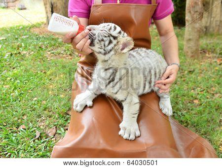 Zookeeper Feeding Baby White Tiger