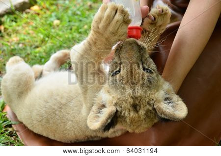 Zookeeper Feeding Baby Lion