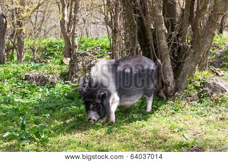 Large Dark Spotted Pig In The Forest