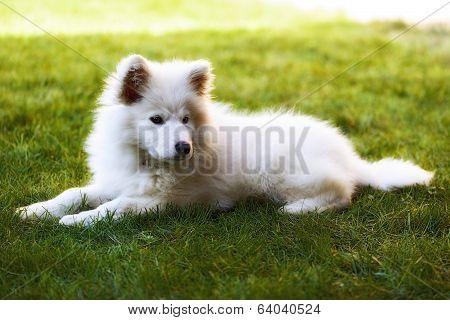 Llittle Samoyed Puppy Portrait In The Garden
