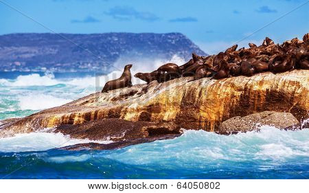 Wild South African seals, many cute sea lions lying down on the rock and bask in the sun, beautiful wild animals, exotic tourism concept