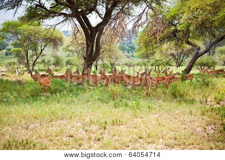 Impalas family in the shade of a tree. Tanzania, Africa.