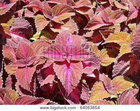 Red Rubin Basil plant