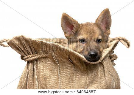 Adorable begging German Shepherd puppy of nine weeks old sitting in a vintage jute bag
