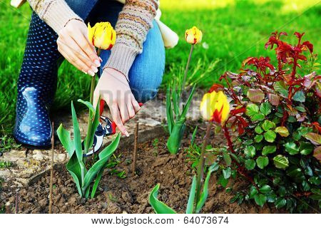 Gardening - woman cutting the flowers in the garden