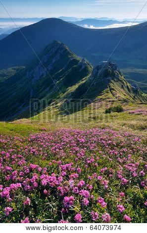 Sunny morning. Glade rhododendron flowers in the mountains. Flowering meadow in the sunlight. Carpathian mountains, Ukraine, Europe