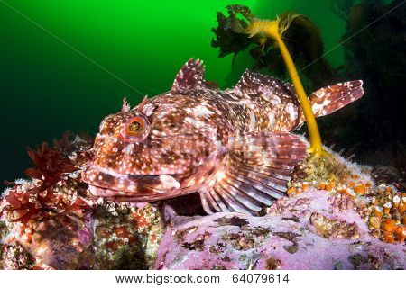 A beautiful cold water cabezon fish rests atop a reef next to a kelp plant in the pacific ocean??s channel islands.