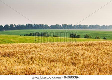 Gold wheat field and blue sky. Ukraine, Europe. Beauty world.