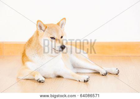 Shiba inu dog lying on floor