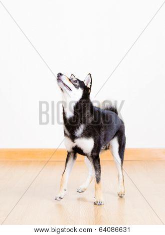 Black shiba dog at home