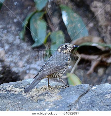 Female Chestnut-bellied Rock-thrush