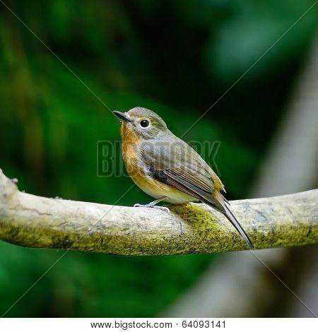 Female Hill Blue Flycatcher