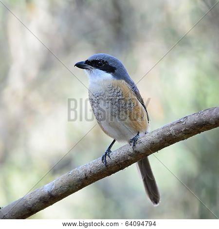 Grey-backed Shrike