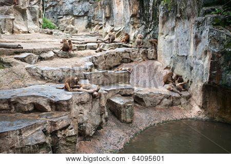 Group of Hamadryas baboons (Papio hamadryas) at the Singapore Zoo.