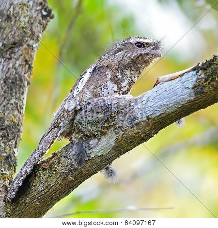 Male Hodgson Frogmouth