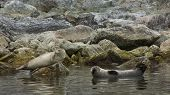 picture of northern hemisphere  - The harbor seal - JPG