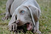 image of dog tracks  - Weimaraner Pet Dog close up in garden - JPG