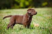 foto of labradors  - brown labrador retriever puppy playing outdoors in summer - JPG